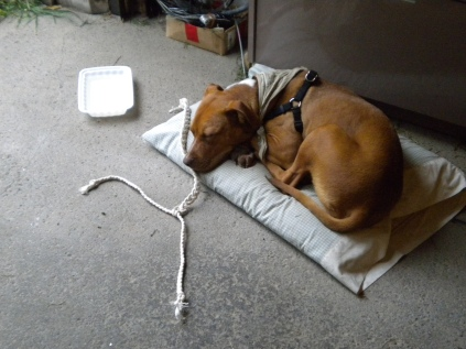 before she got her own bed. That rope is her first toy. This is one of the earlier pictures of dog